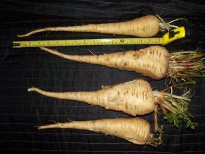19 inch parsnips
